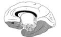 Brain Maksymilian Rose.PNG