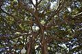 Brancatge dels ficus del portal d'Elx, Alacant.JPG
