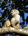 Brazilian Squirrel monkey- Bonnet House, Fort Lauderdale, Florida (4233831350).jpg