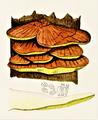 Bresadola - Polyporus sulphureus.png