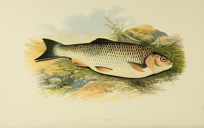File:British fresh water fishes (Plate- Chub) (8550933557).jpg