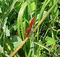 Broad Scarlet. Crocothemis erythraea - Flickr - gailhampshire (2).jpg