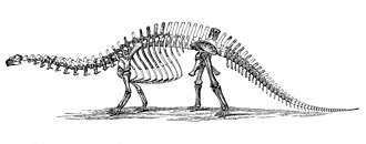 Brontosaurus - An 1896 diagram of the B. excelsus holotype skeleton by O.C. Marsh. The head is based on material now assigned to Brachiosaurus sp.