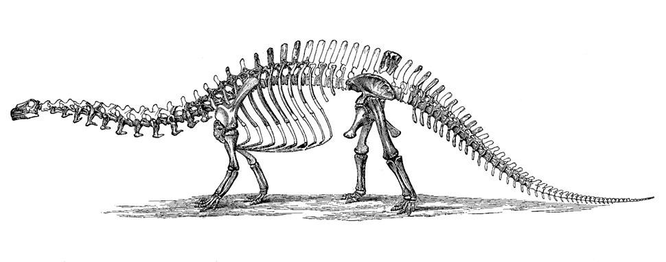 Brontosaurus skeleton 1880s