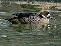 Bronze-winged Duck (Speculanas specularis) RWD.jpg
