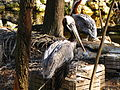 Brown Pelican 1.jpg