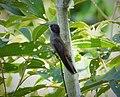 Brown Violetear Colibri delphinae - Flickr - gailhampshire.jpg