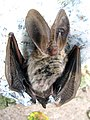 Brown long-eared bat (Plecotus auritus) - geograph.org.uk - 1415542.jpg