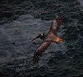Brown pelicans in Marin Headlands (50892).jpg