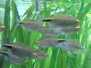 Alestidae family of fishes