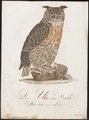 Bubo maximus - 1800-1812 - Print - Iconographia Zoologica - Special Collections University of Amsterdam - UBA01 IZ18400071.tif