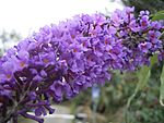 BuddlejaDavidii-flower1-hr.jpg