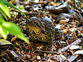 Bufo americanus Toad 2.JPG