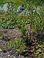 Buglossoides purpurocaerulea 01.JPG