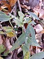Buglossoides purpurocaerulea sl5.jpg