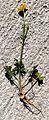 Bulbous Buttercup (Ranunculus bulbosus) - Flickr - Jay Sturner (2).jpg
