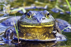 American bullfrog - In typical aquatic habitat