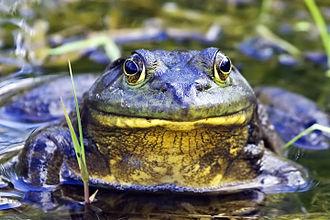 American bullfrog - In typical aquatic habitat