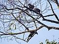 Bushy-crested Hornbills (13970593298).jpg
