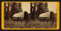 But-end of Big Tree, diam. 25 feet. - Calaveras Co, by John P. Soule 5.png