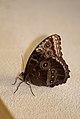 Butterfly eyes (5563699054).jpg