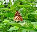 Butterfly mating in Sanjay Van Delhi.jpg