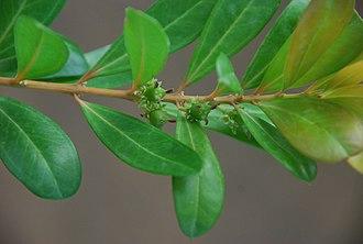 Buxus vahlii - Image: Buxus vahlii