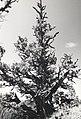 C.1984. Dwarf mistletoe. (40048843650).jpg