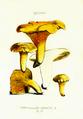 C. C. Gillet, Cantharellus Cibarius.png