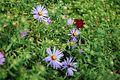 CBG purple flowers 0101.jpg