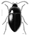 COLE Leiodidae 4.png