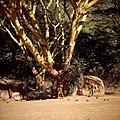 COLLECTIE TROPENMUSEUM Masai hutten onder de acacia bomen TMnr 20038838.jpg
