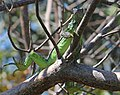 COMMON GREEN IGUANA (Iguana iguana) (3-9-13) key west tropical forest and botanical garden, key west, monroe co, fl -01 (8607246329).jpg