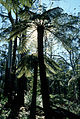 CSIRO ScienceImage 2917 Cyathea australis the Rough Tree Fern.jpg