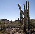 Cactus wrasslin' - panoramio.jpg