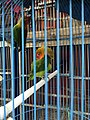 Caged lovebirds in Jatinegara Market.jpg
