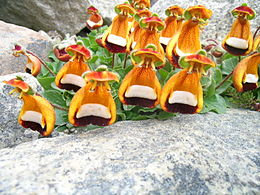 Calceolaria uniflora.JPG