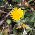 Calendula arvensis-Souci des champs-Fleur-201903018.jpg