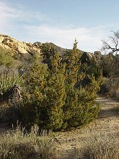 <i>Juniperus californica</i> Species of conifer