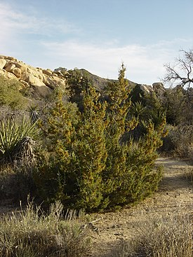 California juniper.jpg