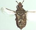 Calisius zealandicus.jpg