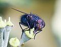 Calliphora vomitoria.jpg