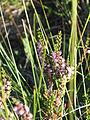 Calluna vulgaris kiiminki 01.jpg