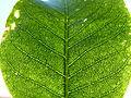 Calodendrum capense, geurkliere, b, Uniegeboutuine.jpg