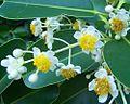 Calophyllum inophyllum flowers.jpg