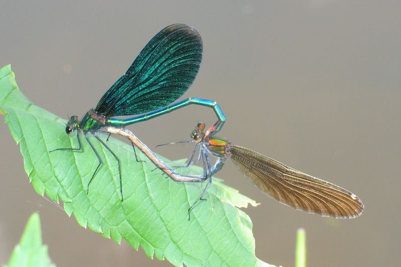 Самец красотки-девушки (слева) // Calopteryx virgo, male (left) & female