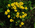 Caltha palustris - flowers.jpg