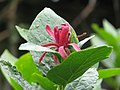 Calycanthus occidentalis - Flickr - peganum (1).jpg