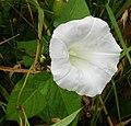 Calystegia flower leaves.jpg