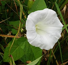 Calystegia flower leaves.jpg